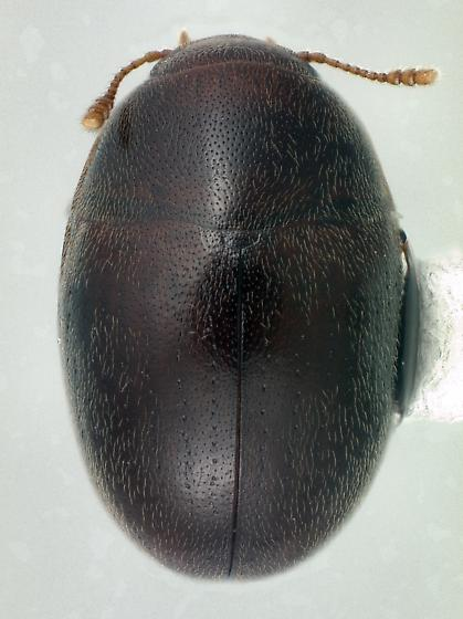 Enneboeus caseyi (Archaeocrypticidae) - Enneboeus caseyi