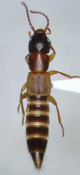 Achenomorphus corticinus