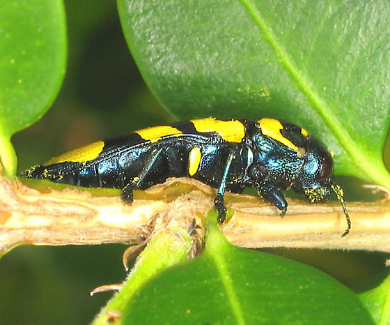 Sotol stalk buprestid - Thrincopyge alacris