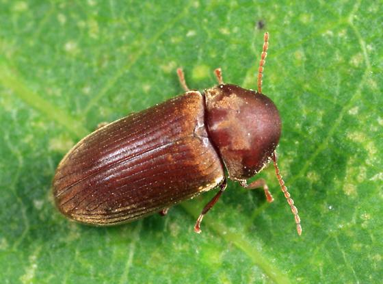 Death-watch  Beetle - Euvrilletta harrisii