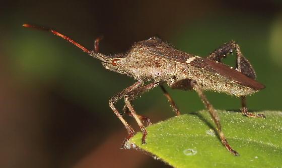 Leaf Footed Bug - Leptoglossus phyllopus