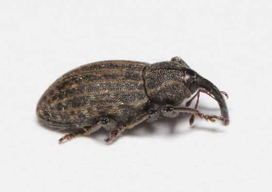 weevil, lateral
