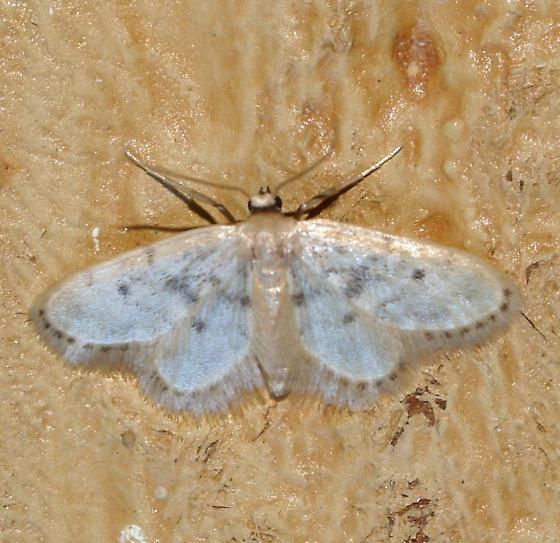 Moth - Idaea bonifata