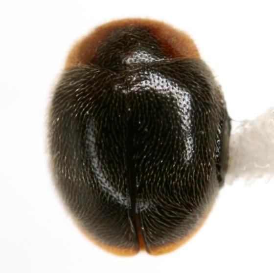 Scymnus (Pullus) uncus Wingo - Scymnus uncus