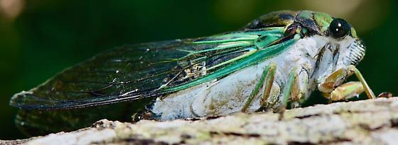 Volusia Cicada - Neotibicen tibicen