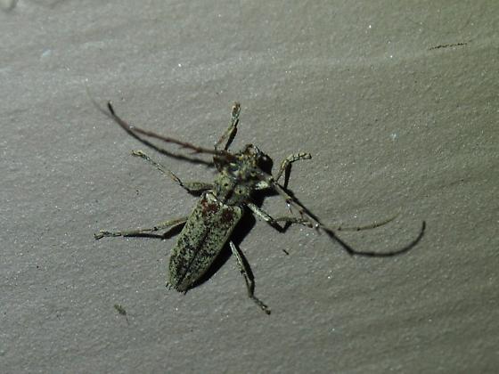 maybe Enaphalodes atomarius? - Elaphidion mucronatum