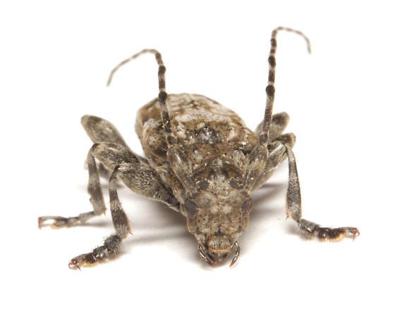 Cerambycidae, frontal - Aegomorphus modestus