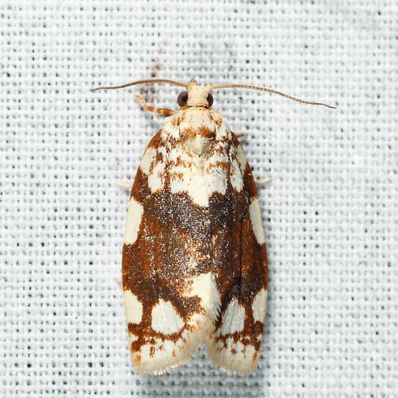 White-spotted Leafroller - Argyrotaenia alisellana