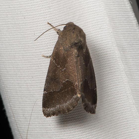 Thoreau's Flower Moth  - Schinia thoreaui