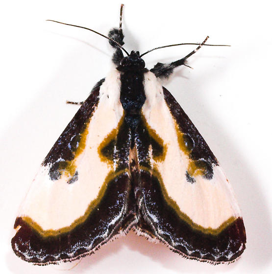 Beautiful Wood Nymph Moth H# 9301 - Eudryas grata