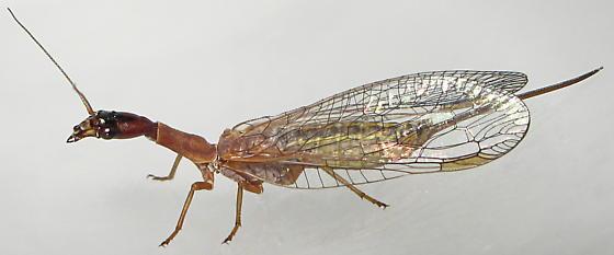 Agulla - female