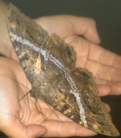 large brown moth with white bands and eye spots on rear wings - Ascalapha odorata