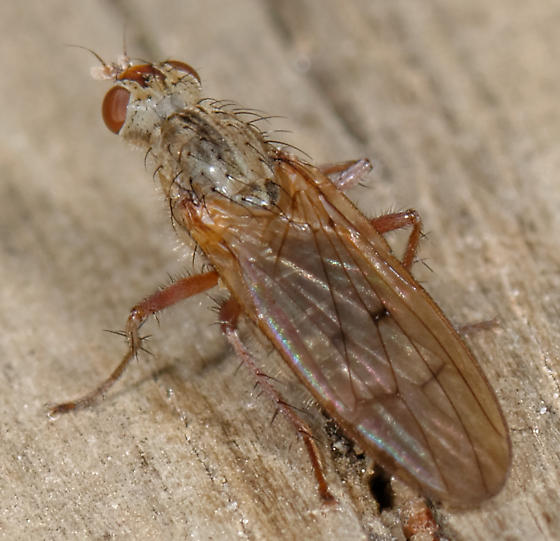 dung fly? - Scathophaga