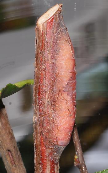 Furcula borealis, Caterpillar to moth - Furcula borealis