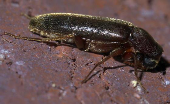 Long, brown beetle - Melittomma sericeum