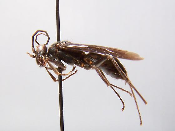 Priocnessus nebulosus - female