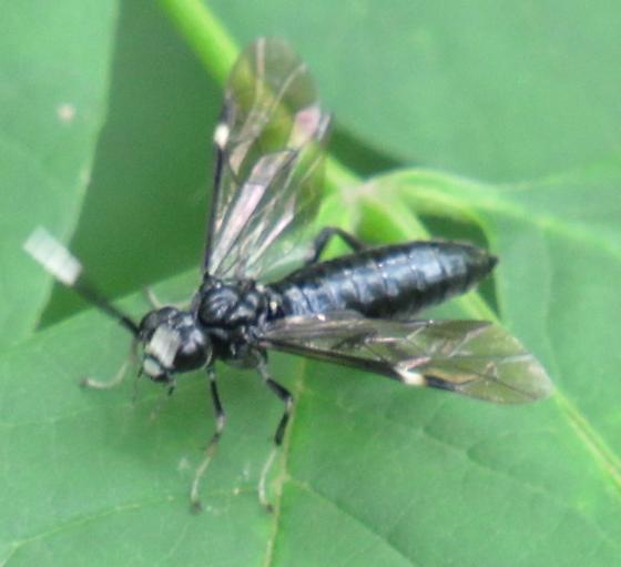 Hymenopteran
