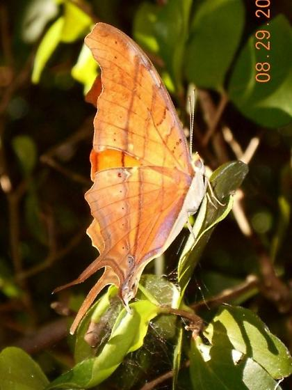 Please help me id this butterfly, found in Miami, FL  - Marpesia petreus