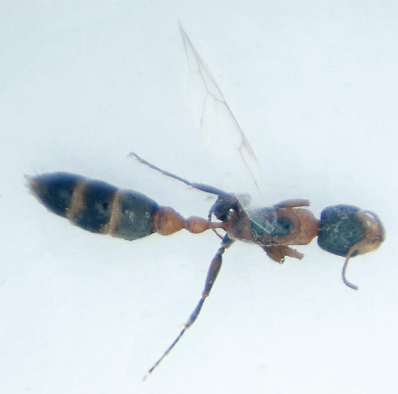 Pseudomyrmex  sp. - Pseudomyrmex gracilis
