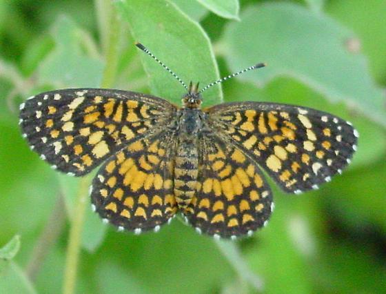 Elada Checkerspot - Microtia elada - female