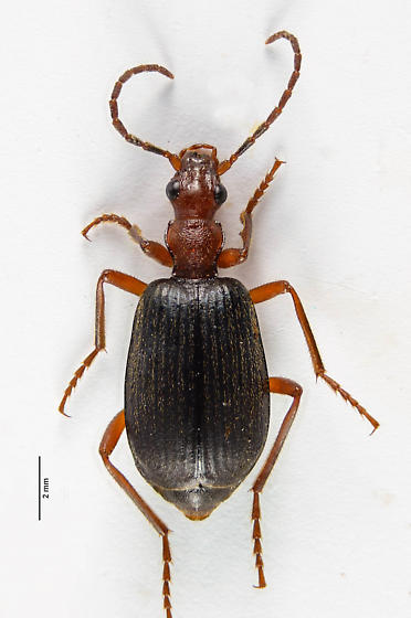 Brachinus - Bombardier Beetle - Brachinus elongatulus