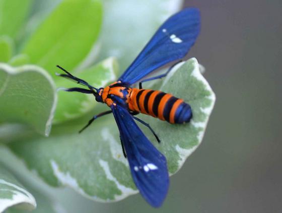 Syntomeida ipomoeae - Yellow-banded Wasp Moth? - Syntomeida ipomoeae