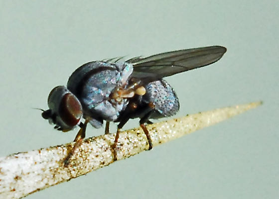 Fly associated with cochneal - Leucopis bellula