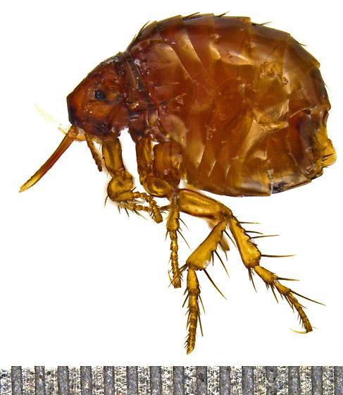 Female Echidnophaga gallinacea?