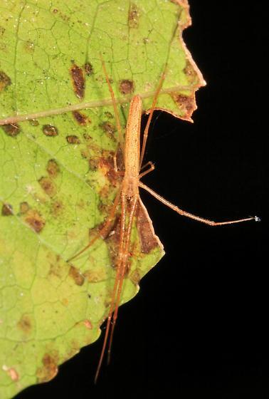 long skinny spider - Tetragnatha