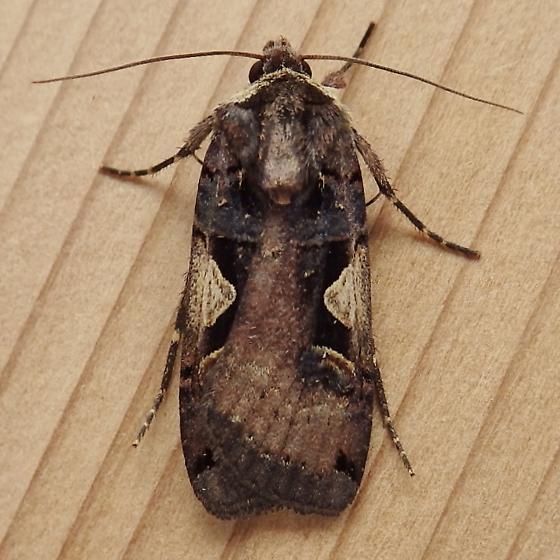 Noctuidae: Xestia c-nigrum/dolosa Complex - Xestia