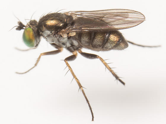 Fly - Gymnopternus