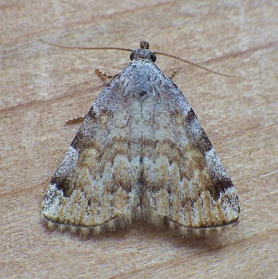 Erebidae: Idia americalis - Idia americalis