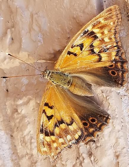 ID Butterfly - Asterocampa clyton