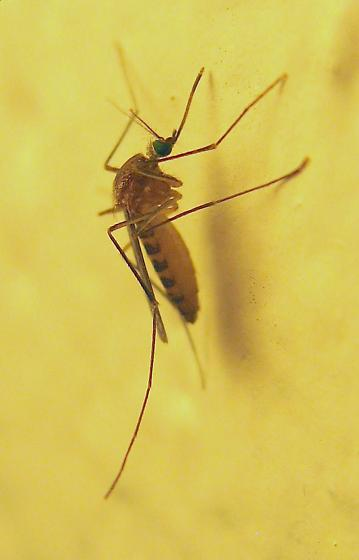 Northern House Mosquito - Culex pipiens - female