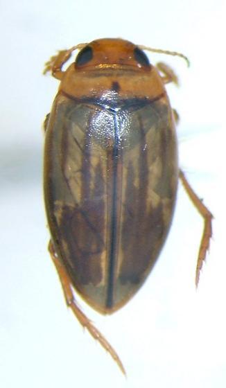 Dytiscid 02 - Coelambus nubilus