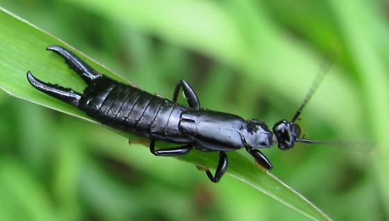 Chelisochides morio - Chelisoches morio - male