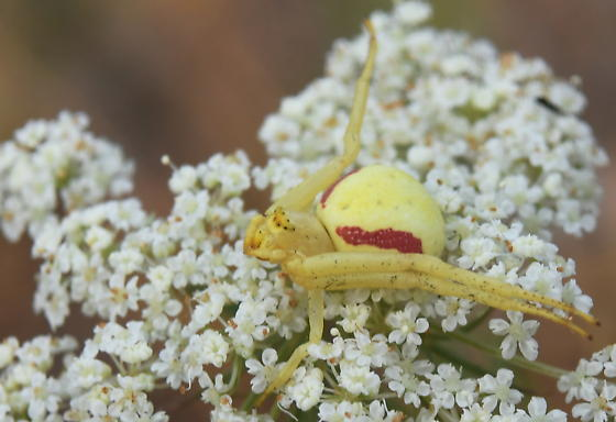 Yellow and red flower spider - Misumena vatia