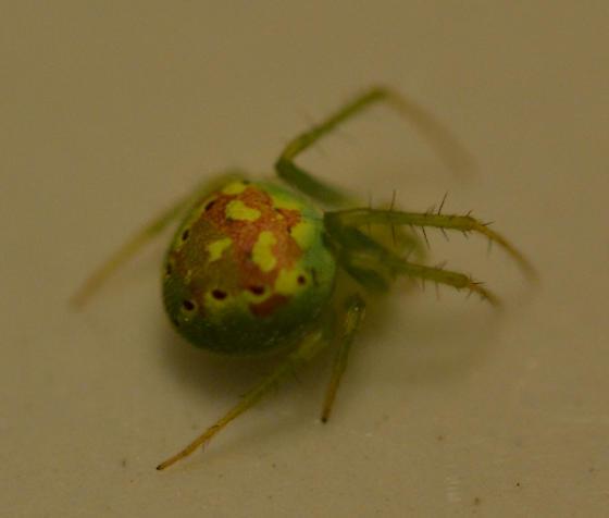 Possible Araneus cingulatus? - Araneus cingulatus - female