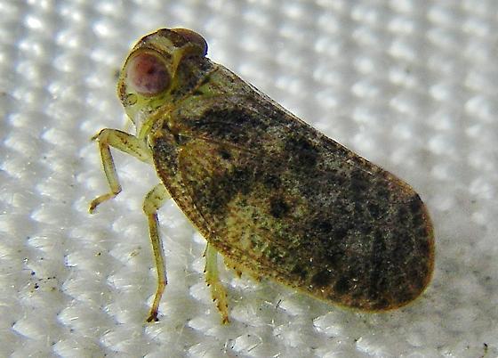 Thionia.  Species ID, please. - Thionia bullata