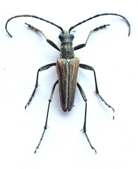 Stenocorus - Stenocorus vestitus - male