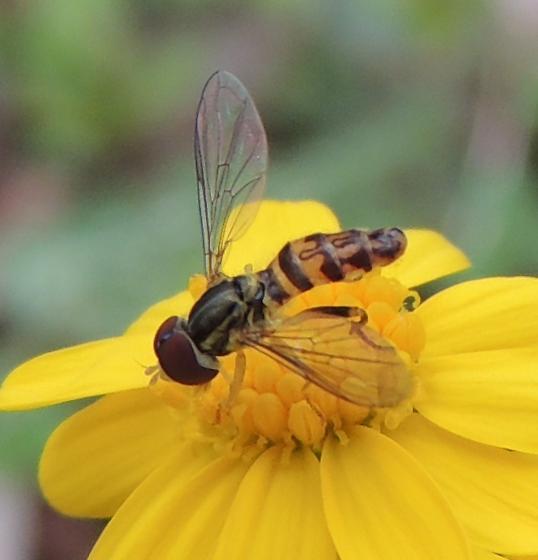 bug on yellow flower - Toxomerus geminatus