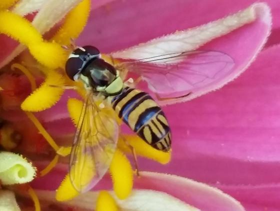 Common Oblique Syrphid - Allograpta obliqua - female