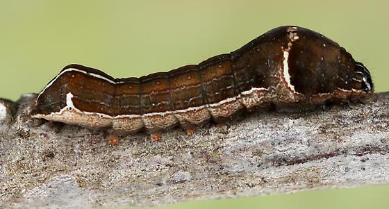 backyard caterpillar - Galgula partita