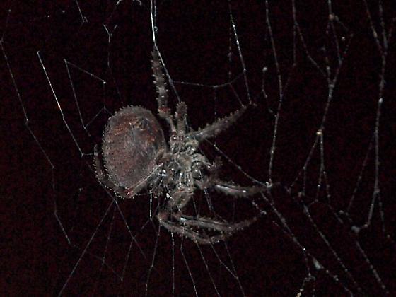 HUGE ORB WEB Spider - Araneus andrewsi