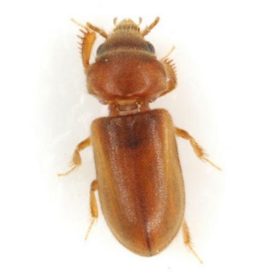 Tropicus pusillus (Say) - Tropicus pusillus