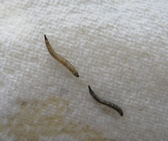 Moth Fly?  - Clogmia