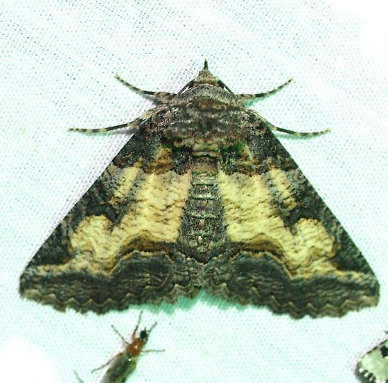moth - Zale insuda