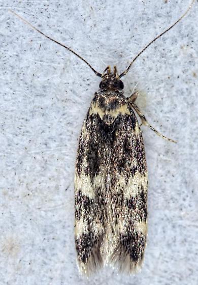 Four-spotted Yellowneck Moth - Oegoconia novimundi