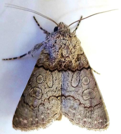 Distinctive Mystery Moth - Sympistis sorapis
