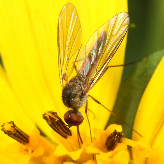 Bee fly on Heliopsis - Geron